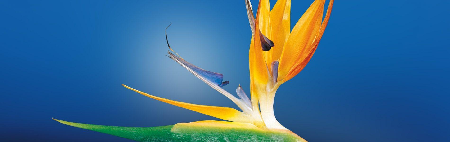 bird-of-paradise-flower-1073282_1920